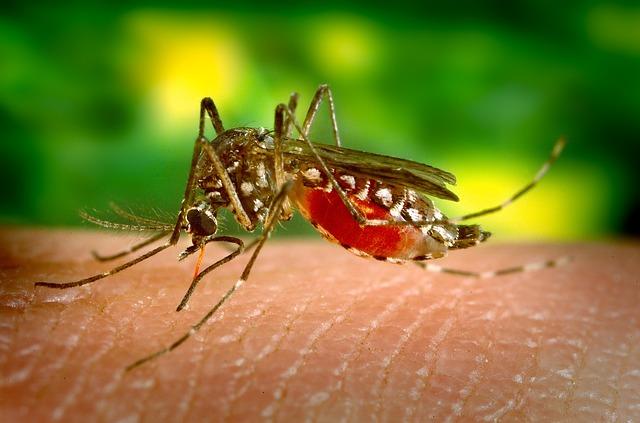 sající komár.jpg