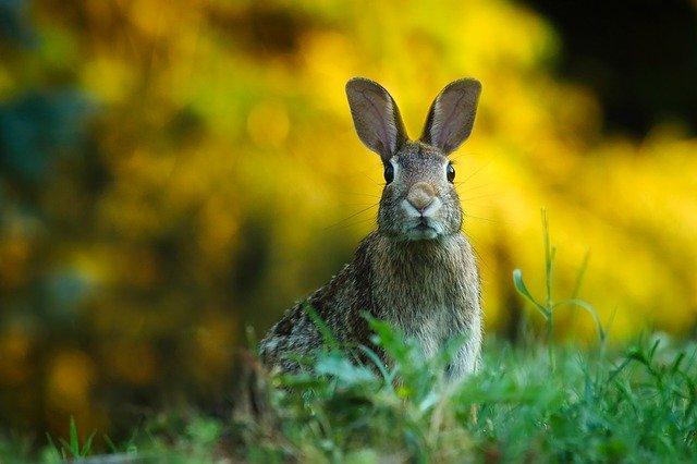 číhající králík